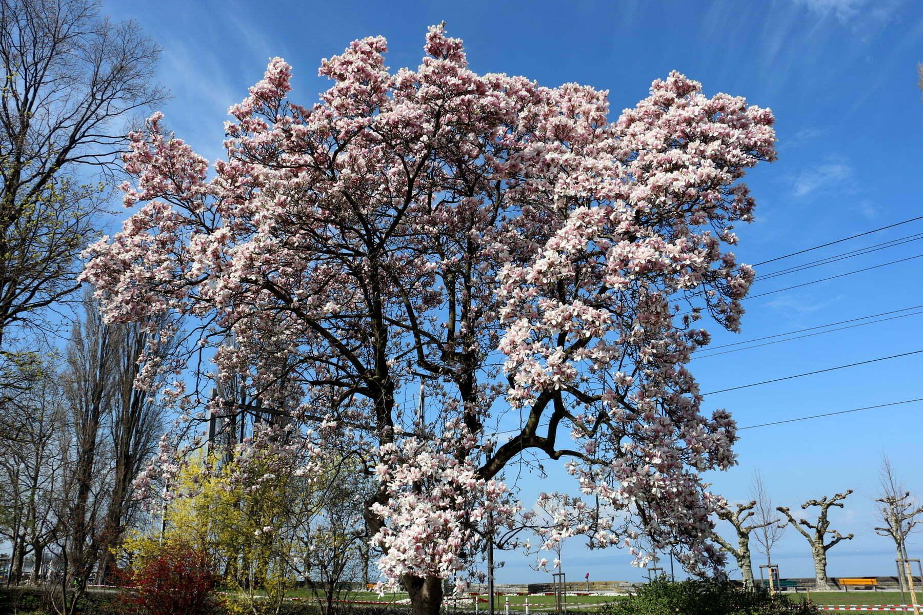 mehr magnolienpracht ist nicht mehr m glich rorschacher echo. Black Bedroom Furniture Sets. Home Design Ideas